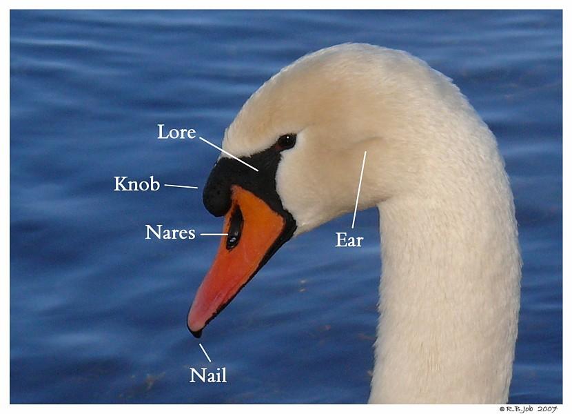 Mute Swan Head Anatomy