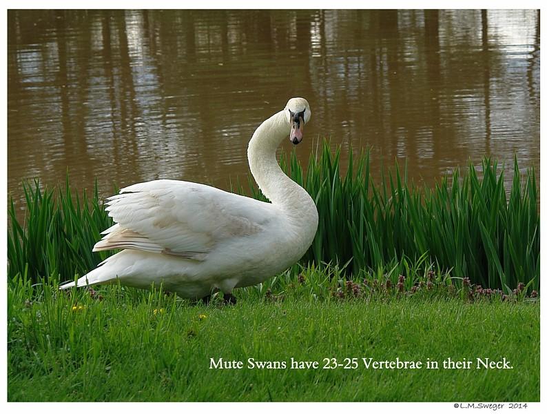 Swan Neck Vertebrae