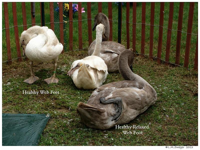 Resting Swan Foot