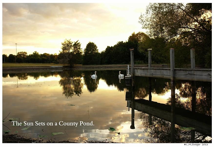 Mute Swan Pond