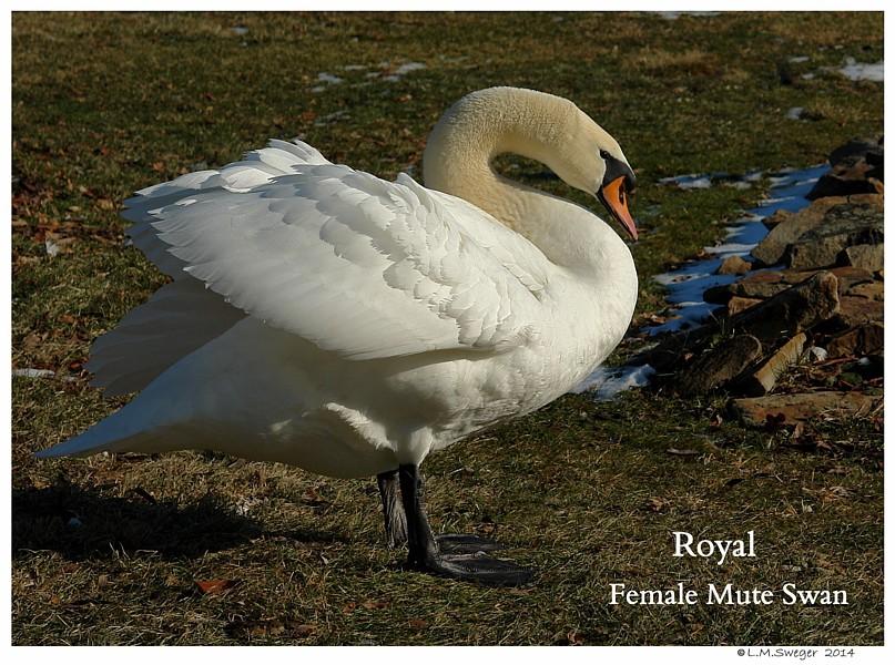 Royal Mute Swan Female