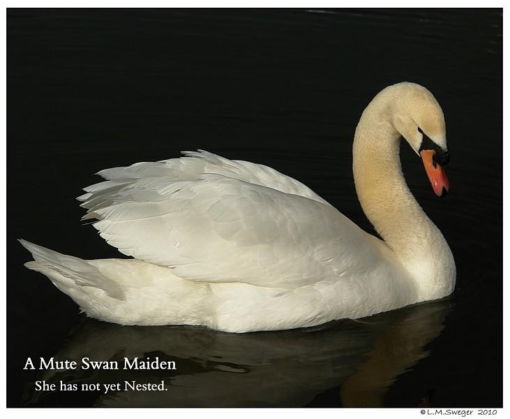 Maiden Swan