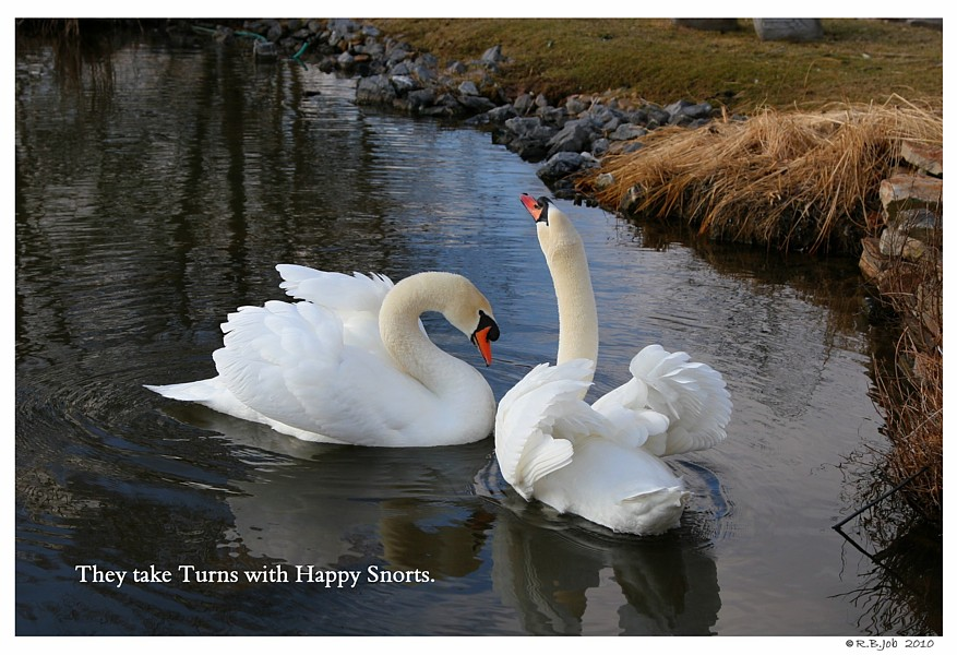 Courting Mute Swans