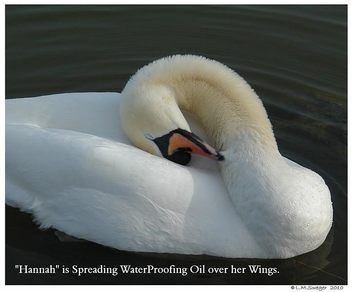 Swan Preening Oil