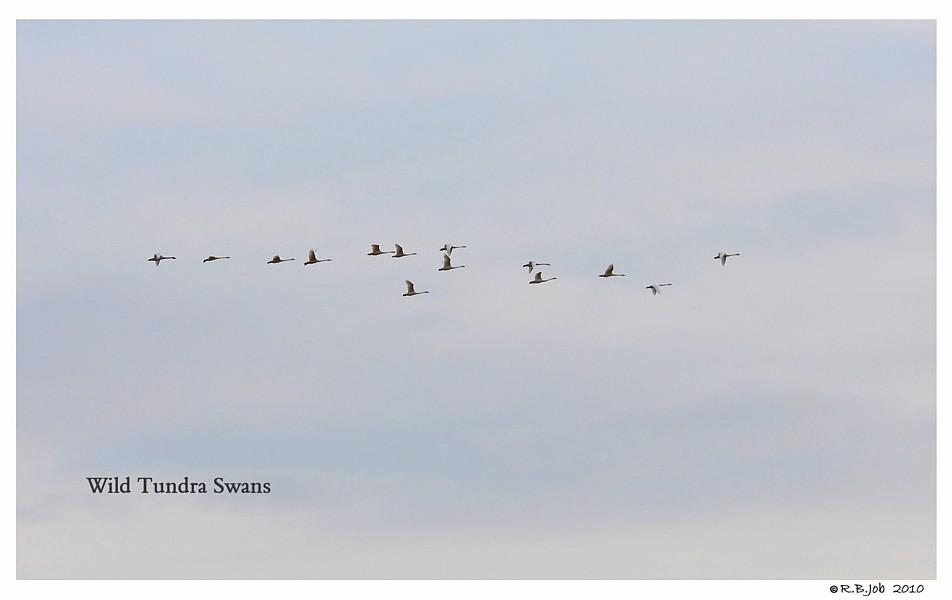 Wild Tundra Swans