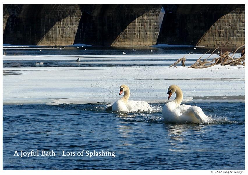 Swans Joyful Bath