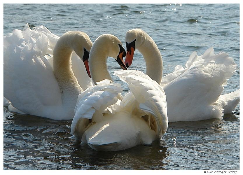 White Swans Mute Swans