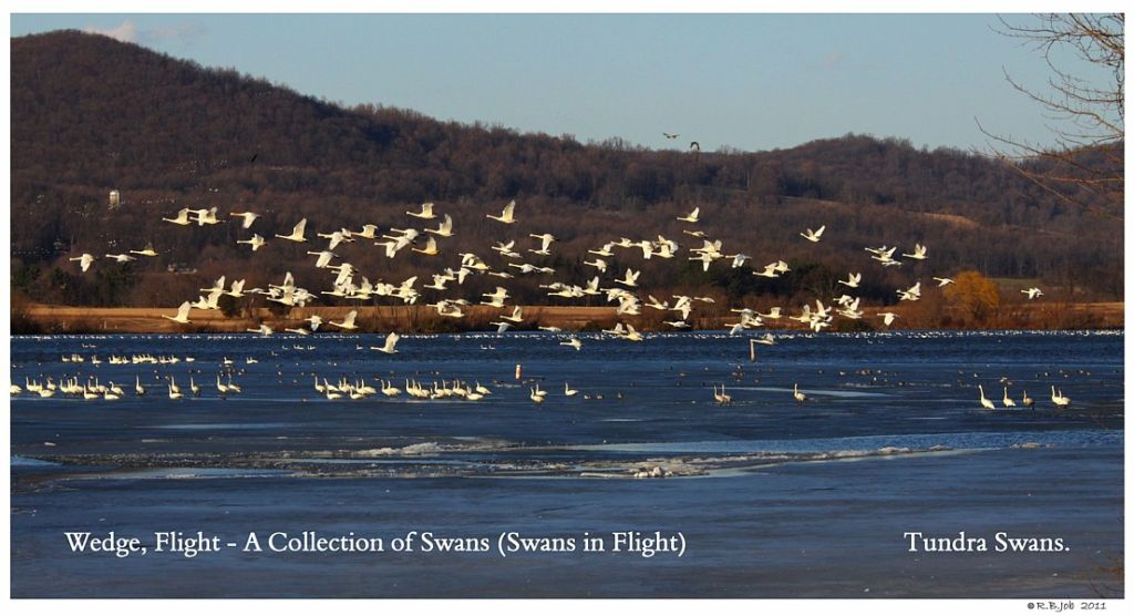 A Wedge Tundra Swans