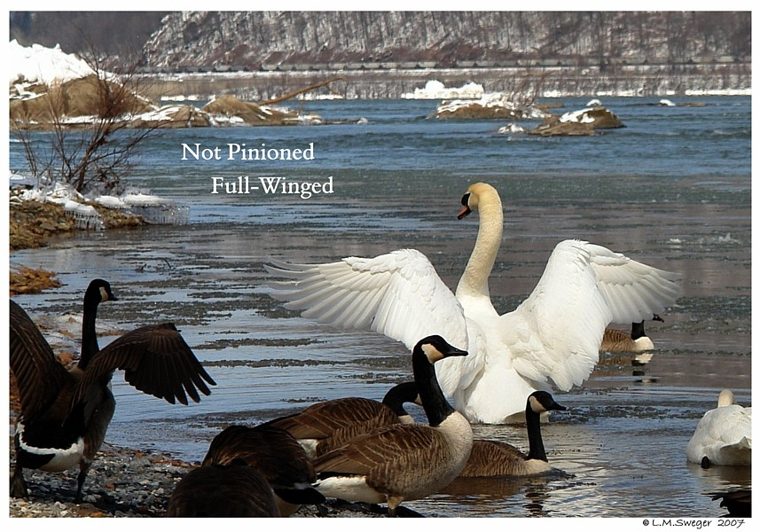 Full-Winged Mute Swan