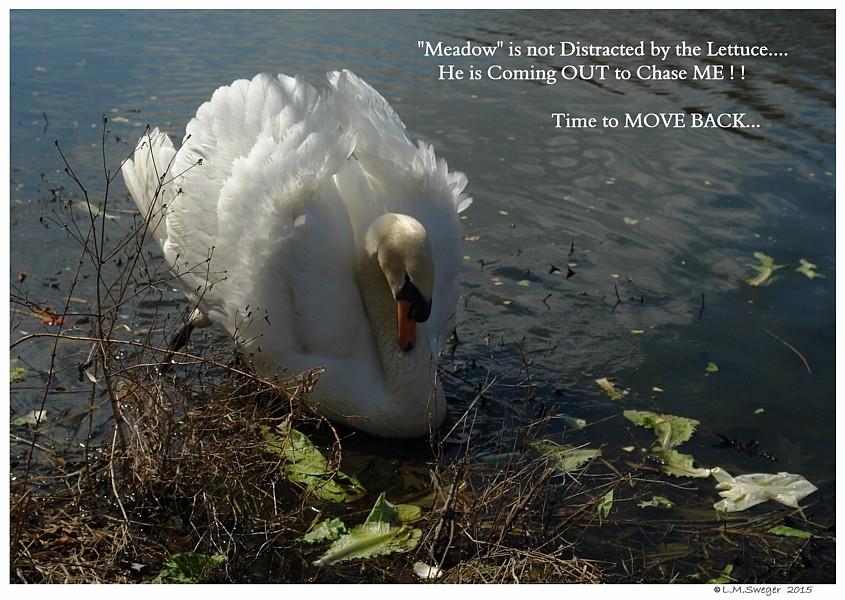 Swan Cob during Mating Season