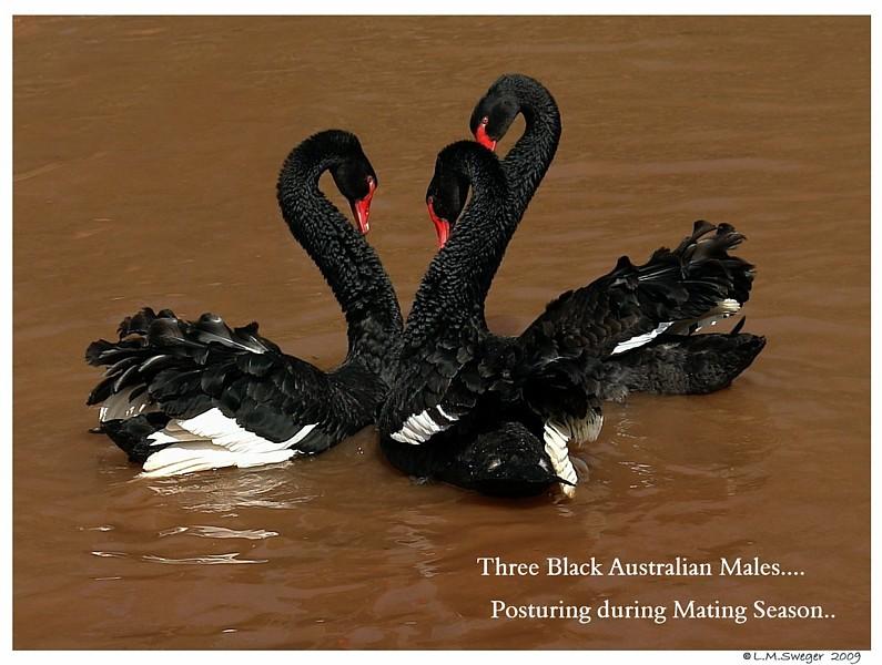 Black Swans Posturing