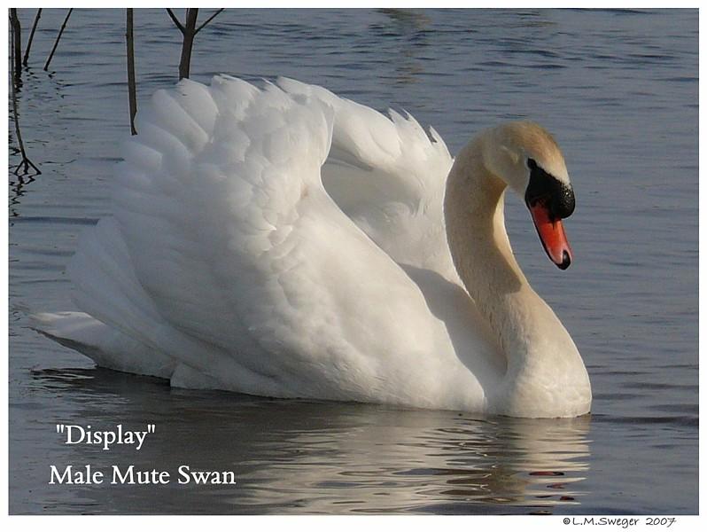 Mute Swan Display