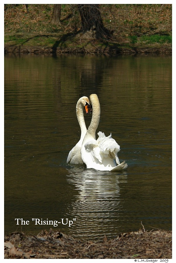 Swans Rising-Up