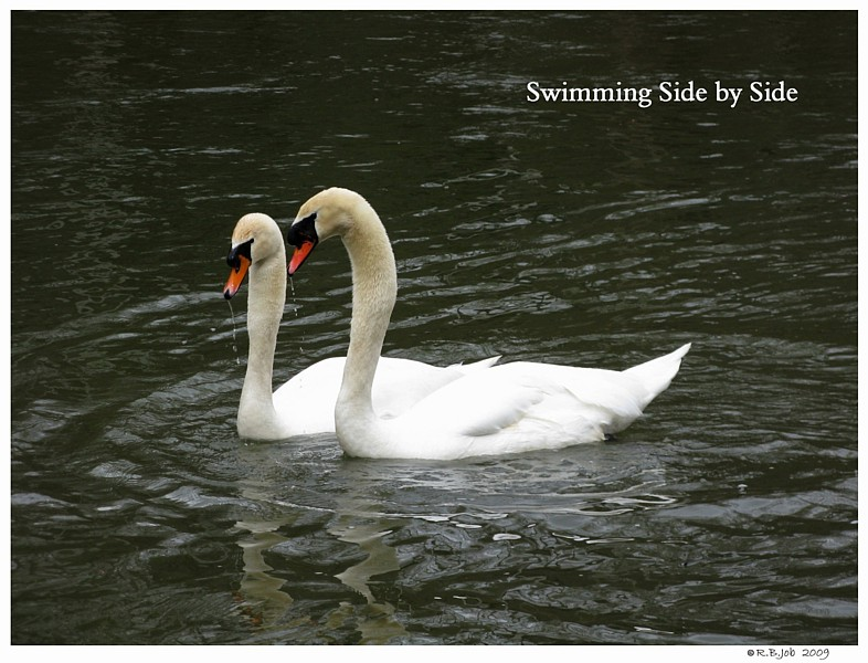 Swans Mating Ballet
