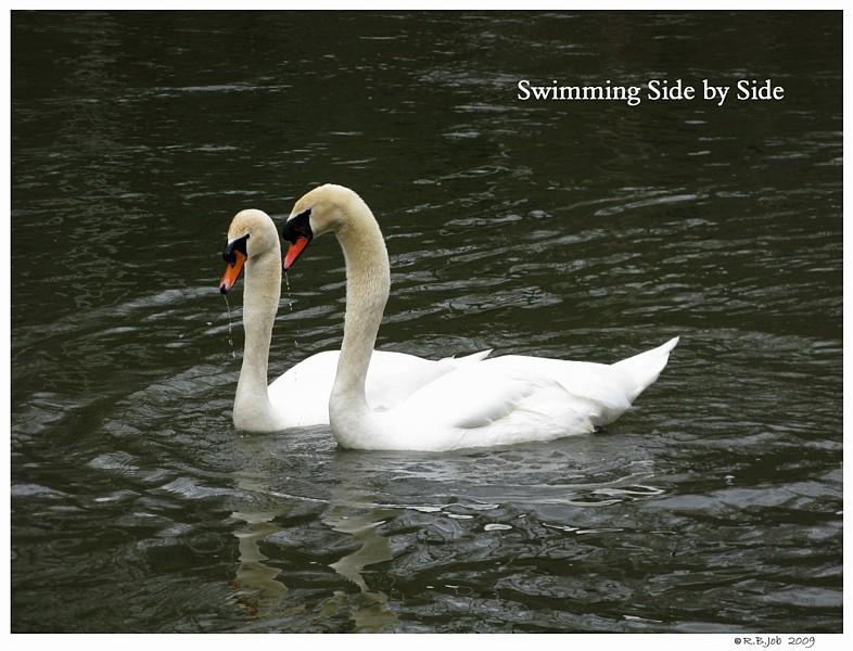 Swans Mating Ballet