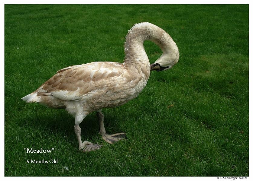 Mute Swan Polish Royal