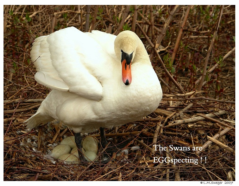 Mute Swan Pen with Clutch