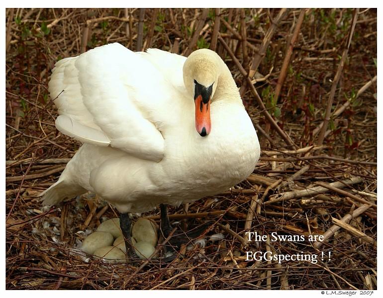 Mute Swan Pen with Clutch