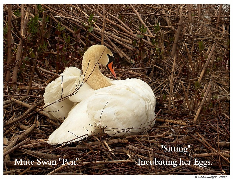 Brood - Sitting to Incubate