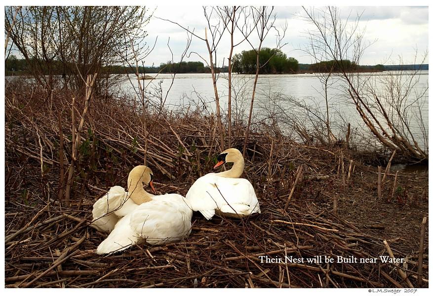 Aerie - Mute Swan Nesting Site