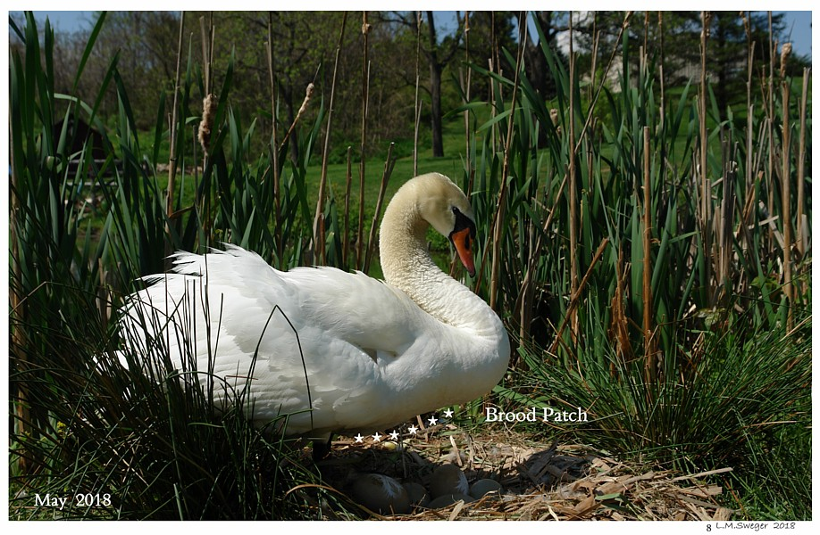 Mute Swan Brood Patch