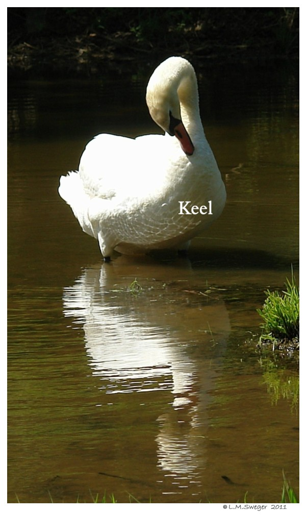 Keel Mute Swan