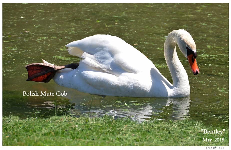 Polish Mute Swan Cob