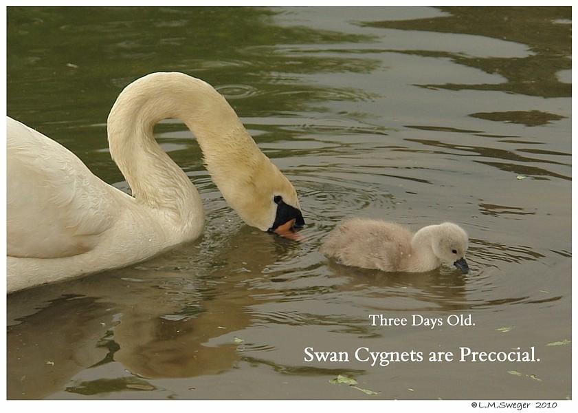 Swan Cygnets are Precocial