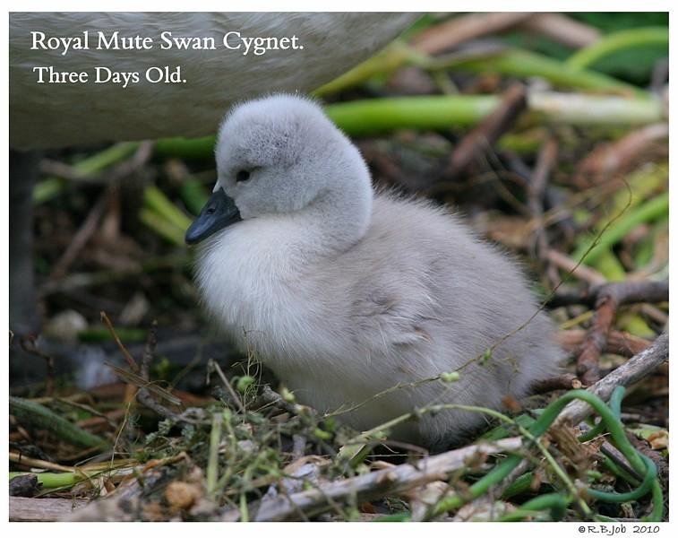 Royal Mute Cygnet