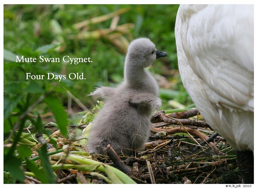 Mute Swan Cygnet 4 Days