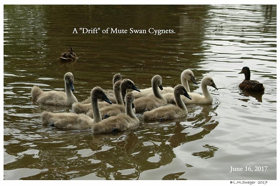 Drift of Mute Swan Cygnets