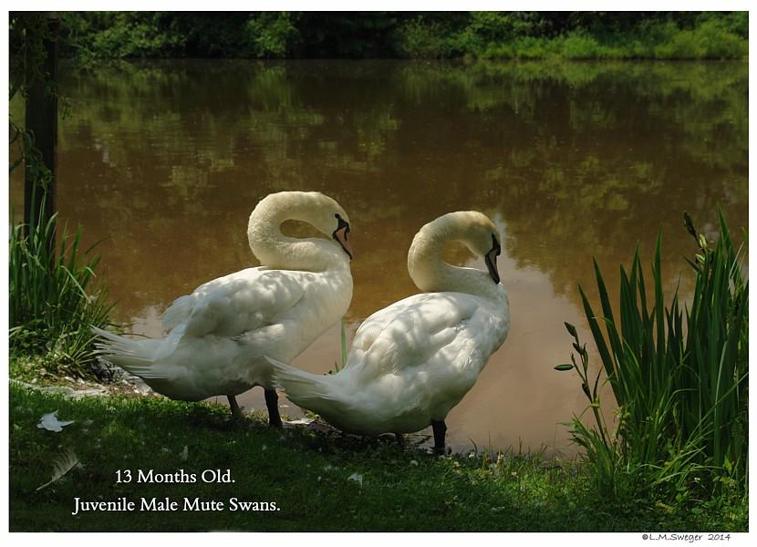 Juveniles Mute Swans