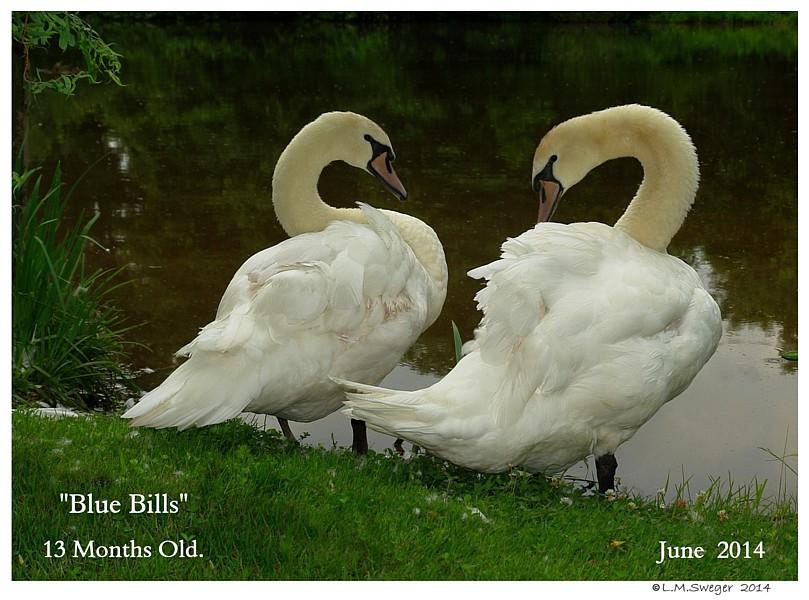 Blue Bill Mute Swans