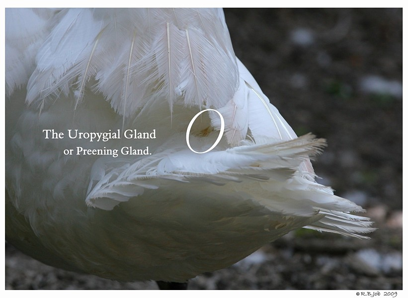 Swan Preening Gland