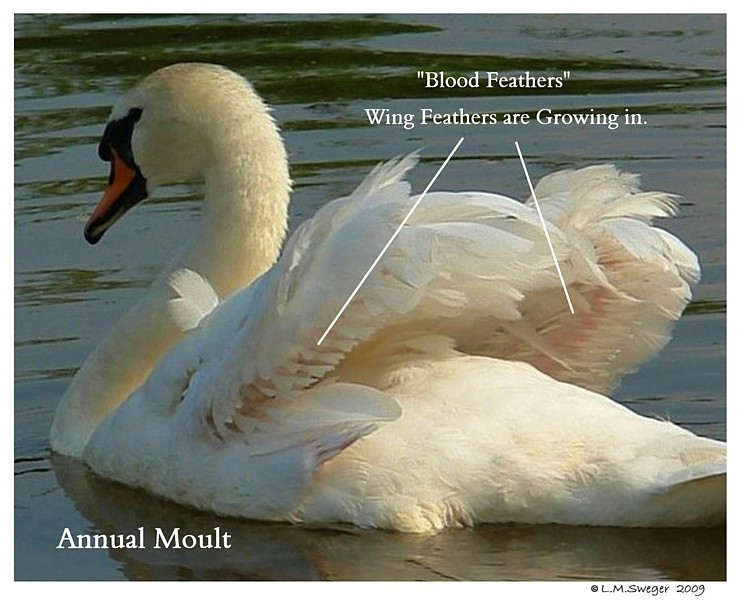Swan Blood Feathers