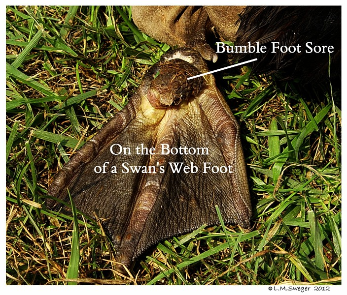 Swan Bumble Foot Sore