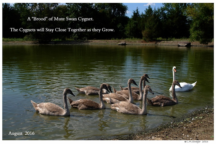 Mute Cygnet Brood