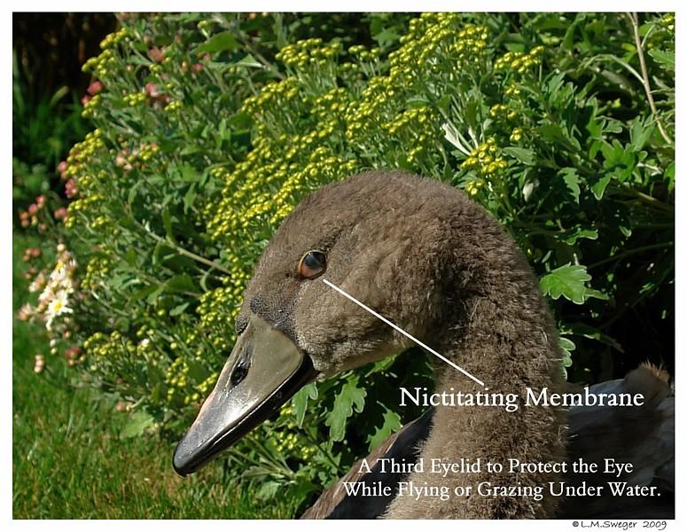 Nictitating Membrane Mute Swan