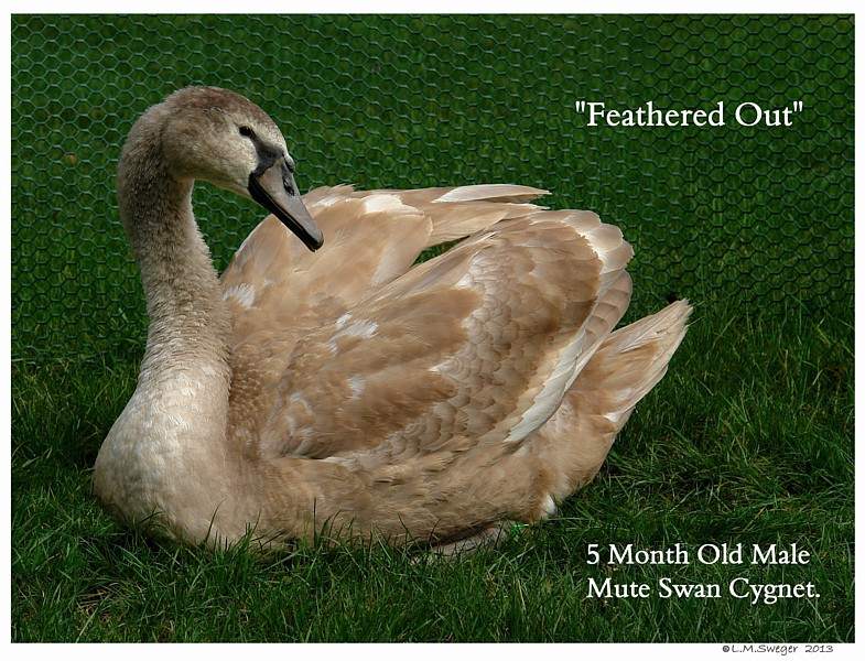 Cygnet Feathered Out