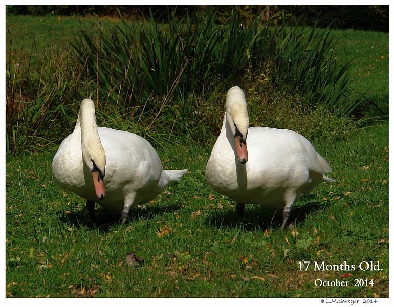 Juvenile Mute Swans