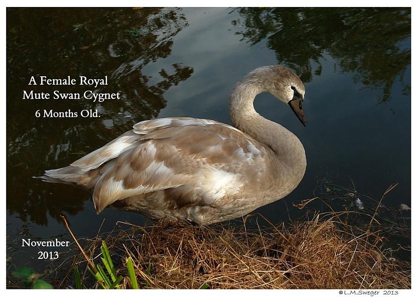 Grey Mute Swan