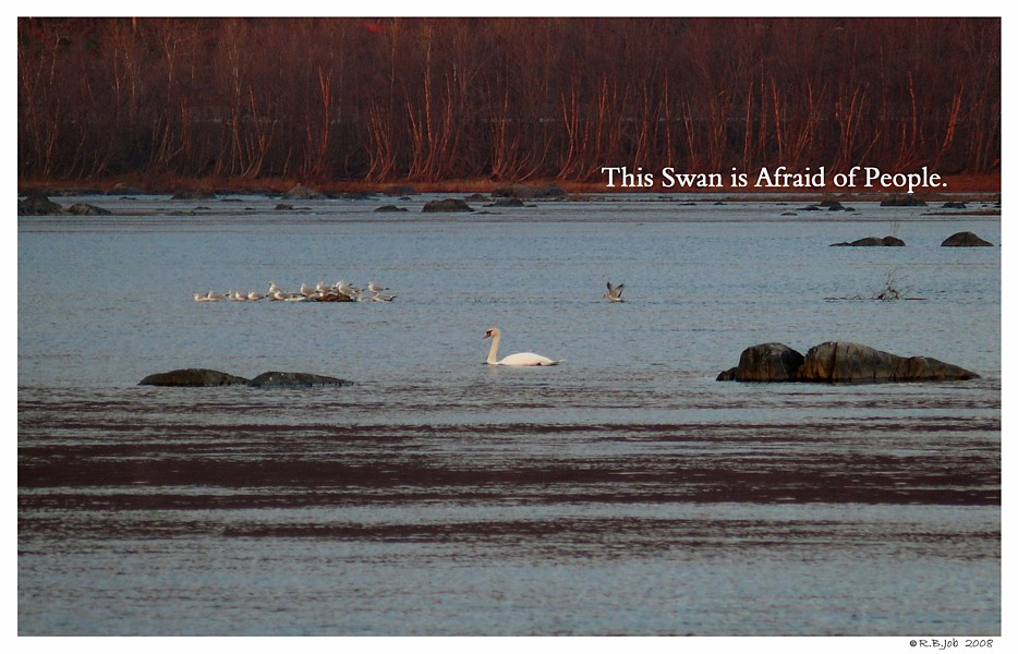 Unsocialized Swans
