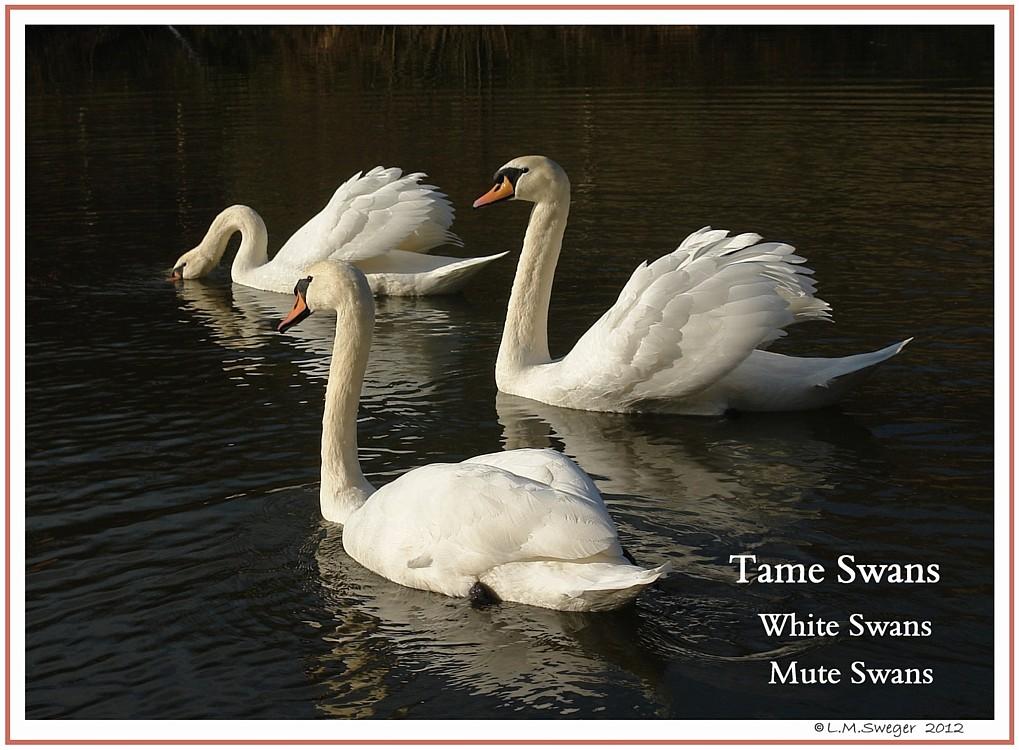 Tame White Swans