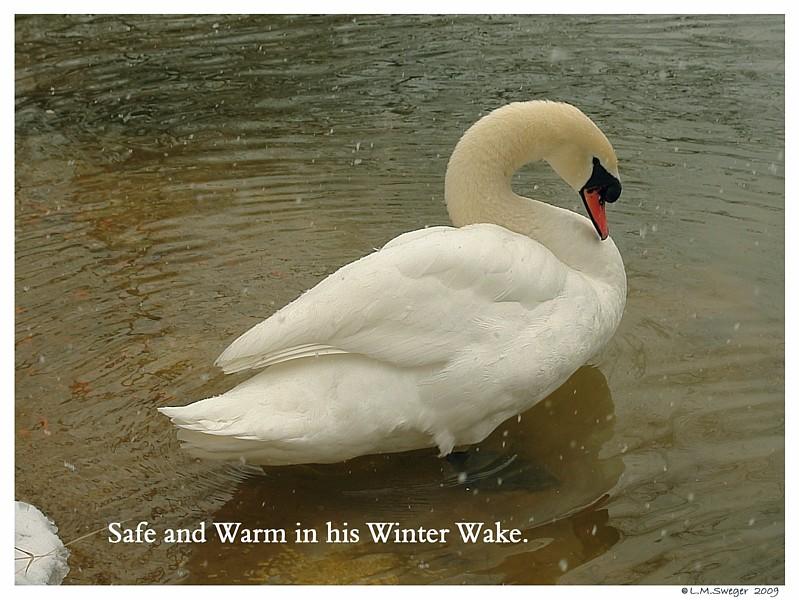Mute Swan Preen Gland
