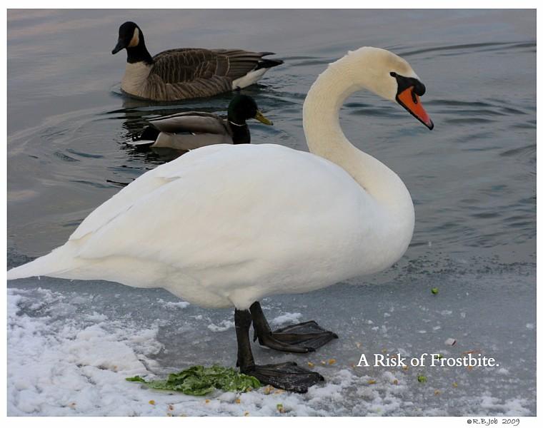 Mute Swan Frostbite