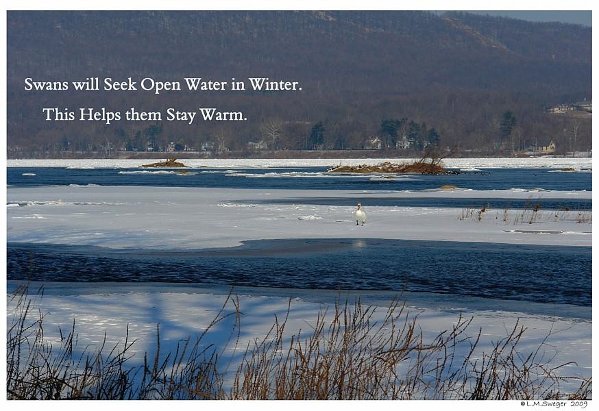 Wild Swan Winter