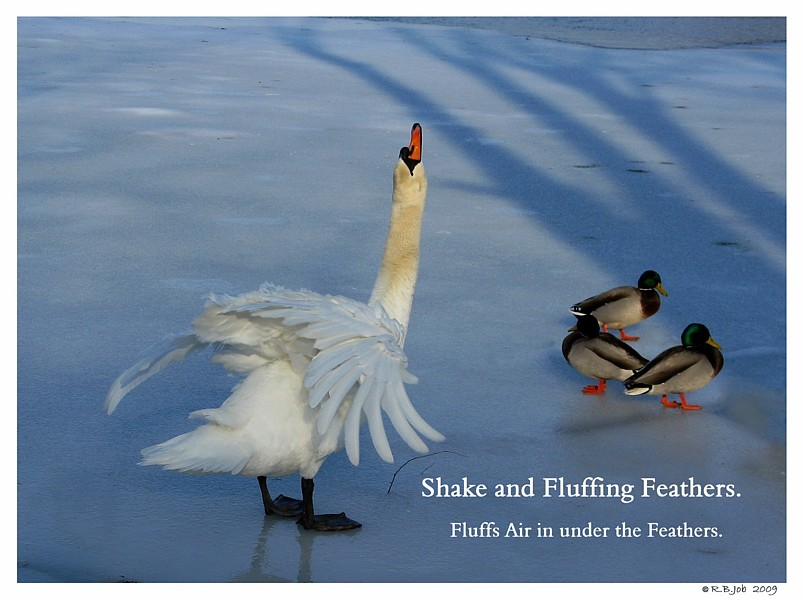 Swan Feathers Insulate
