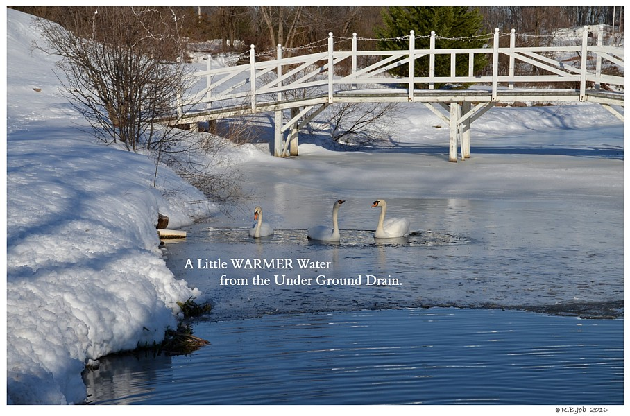 Swans Winter Pond