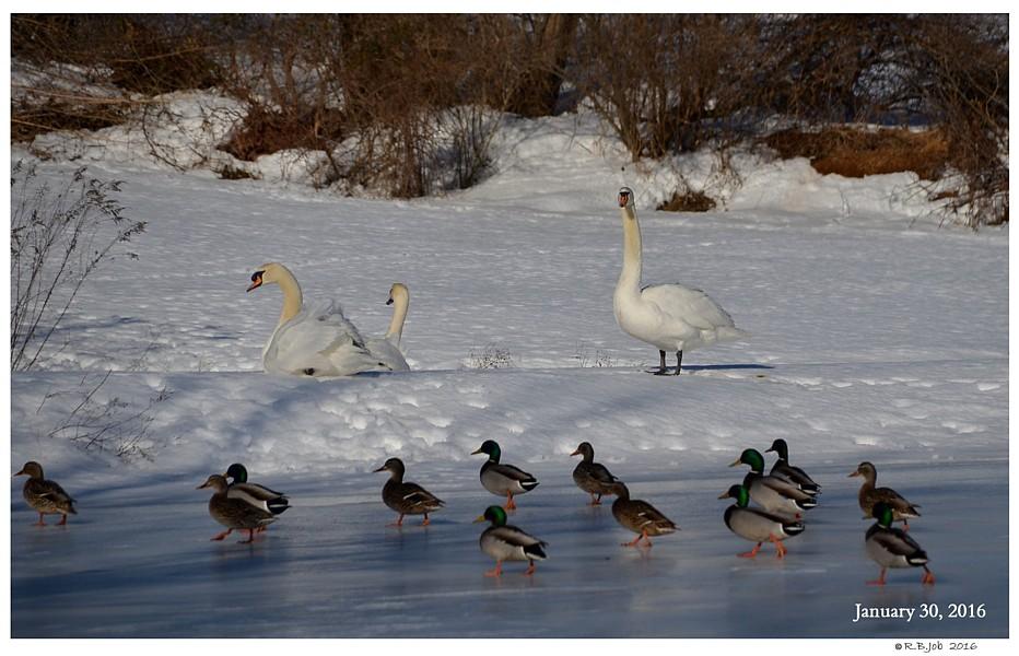 Mute Swan Winter