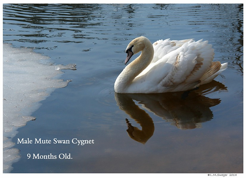 Mute Cygnet Nine Months Old